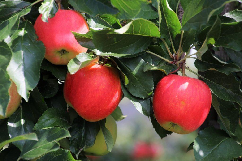 3つのリンゴの(kolme omenaa)写真