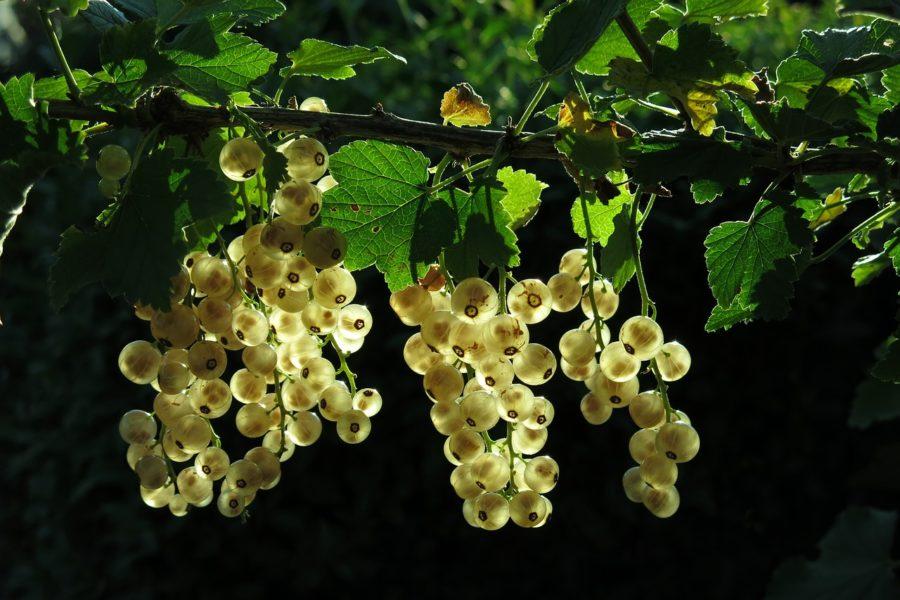 白スグリ(ホワイトカラント)の写真