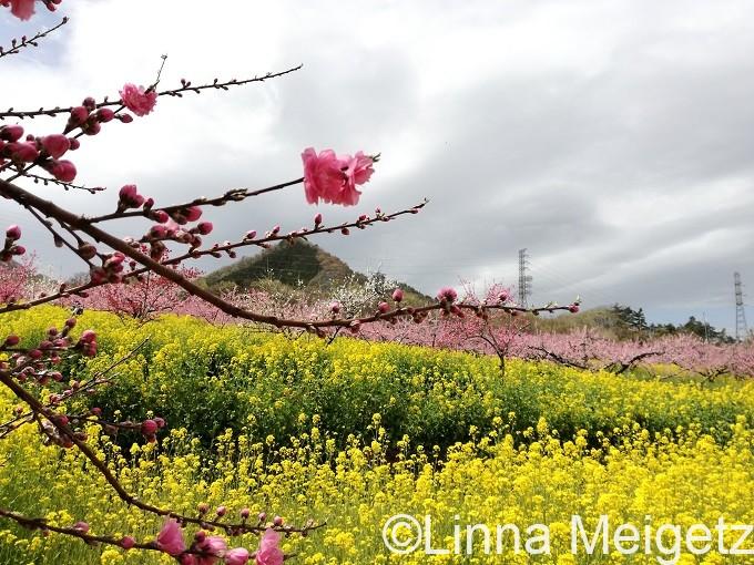 三坂公園の桃の花と菜の花