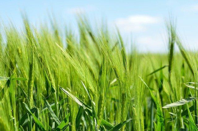 大麦の写真