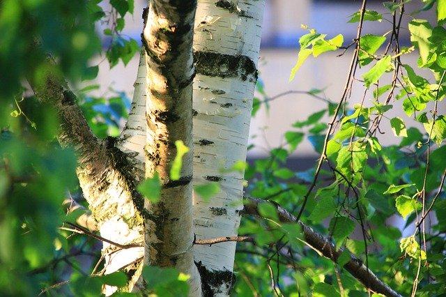 シラカバの木の写真