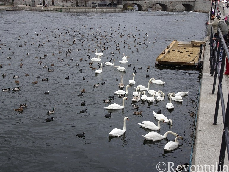 ストックホルムの水路にいる鳥たち